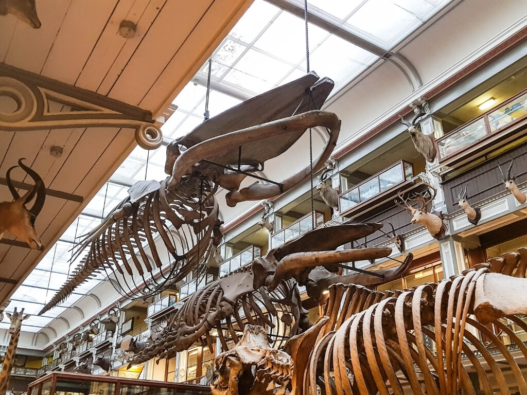 A basking shark skeleton in the Natural History Museum in Dublin, one of the best museums in Dublin that is free to visit