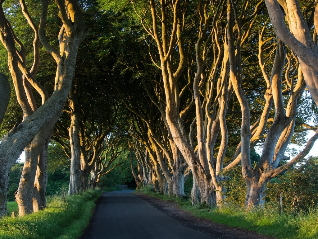A picture of the famous Dark Hedges in Antrim, a road covered with entwined beech trees