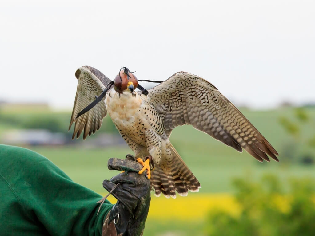A picture of a bird of prey standing on a man's gloved hand