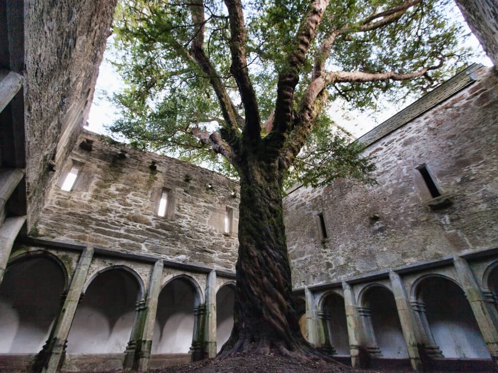 A picture of an ancient yew tree in the cloister courtyard inside Muckross Abbey in the Killarney National Park