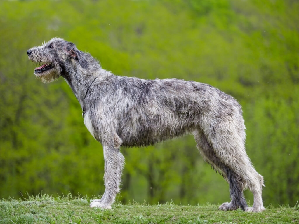 A picture of a grey Irish Wolfhound dog