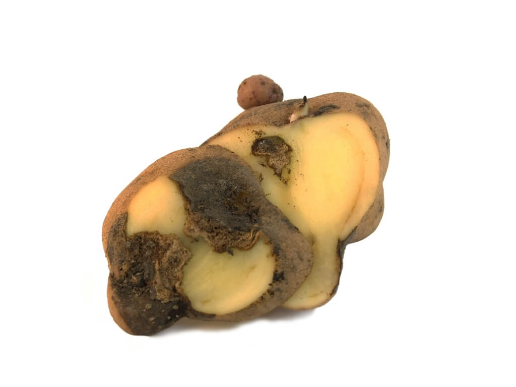 A picture of a potato with blight in it.