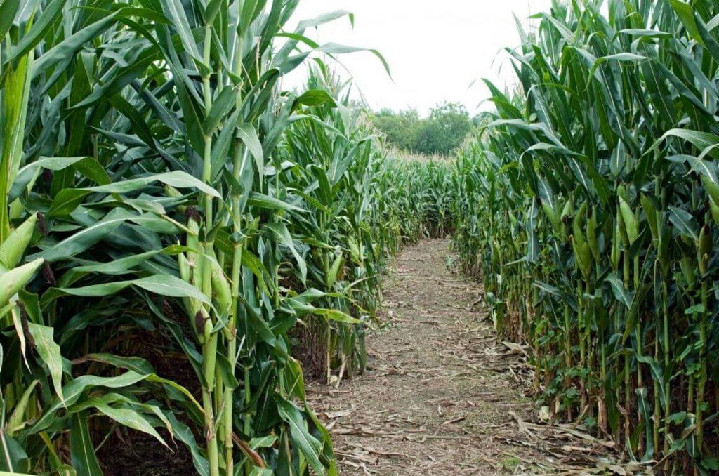A picture of a path running through a maize maze