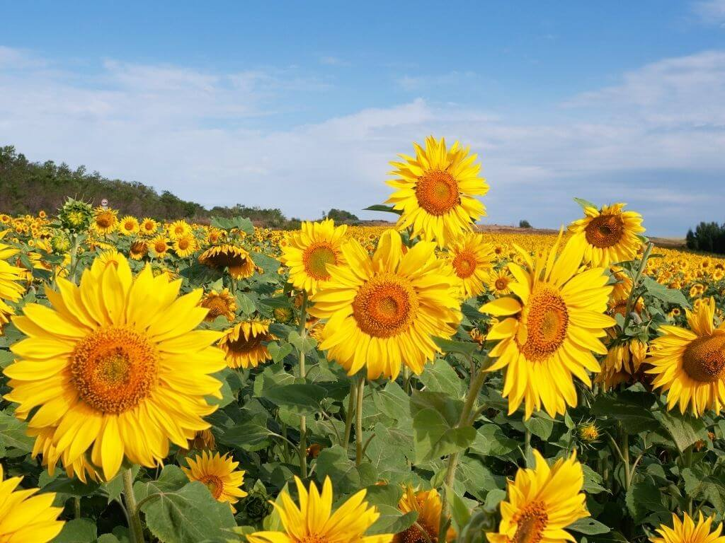 A picture of a field of sunflowers with blue skies overhead