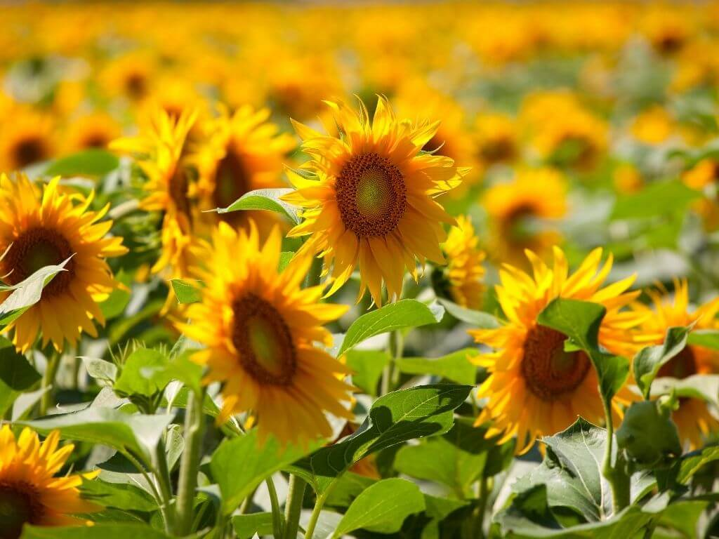 A picture of sunflower heads among a field of the flowers
