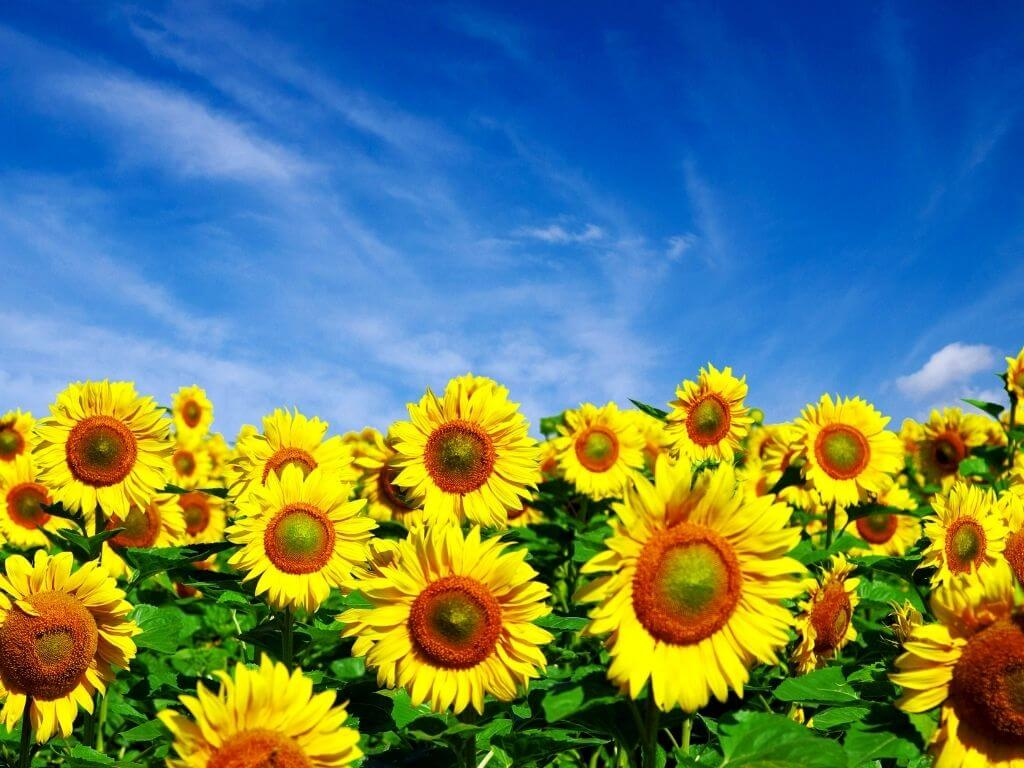 A picture of sunflowers with blue skies overhead