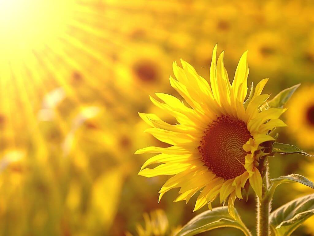 A picture of a sunflower among a field of the flowers with sunrays shining on the field