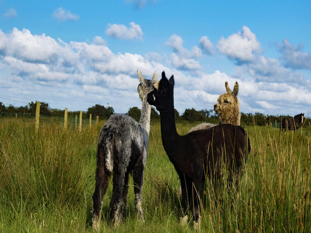 A picture of three alpacas standing in a field of green grass in Ireland