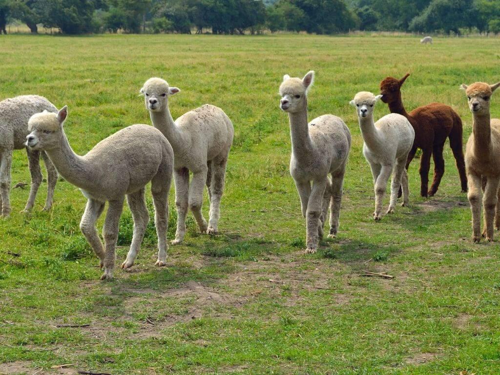 A group of alpacas walking in a green field
