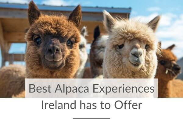 A picture of a white and brown alpaca with text overlay saying best alpaca experiences Ireland has to offer