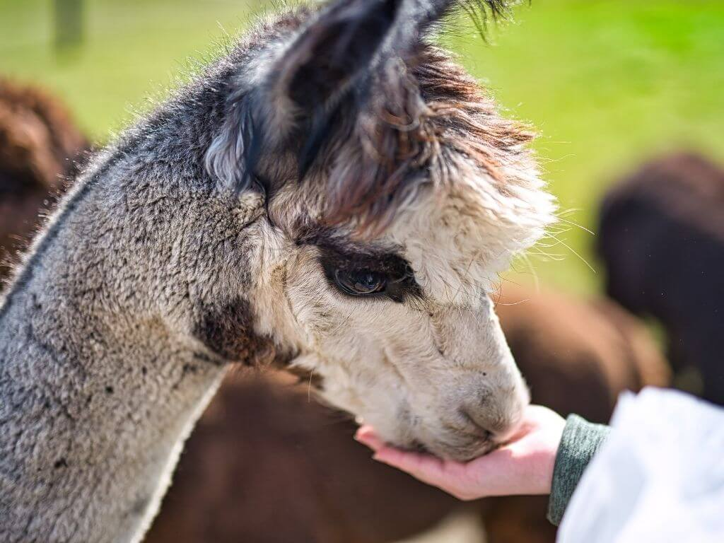 An alpaca being fed by someone