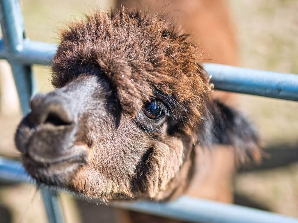 A brown alpaca sticking its head through blue farms of a farm gate