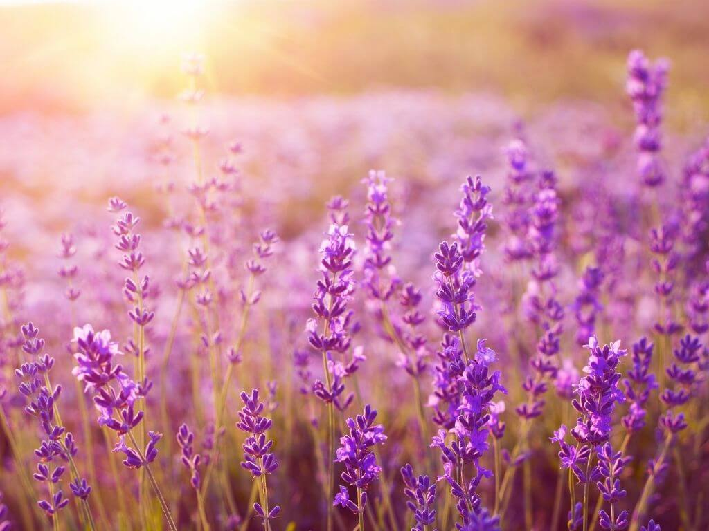 A picture of a lavender flower field with the sun shining down on it