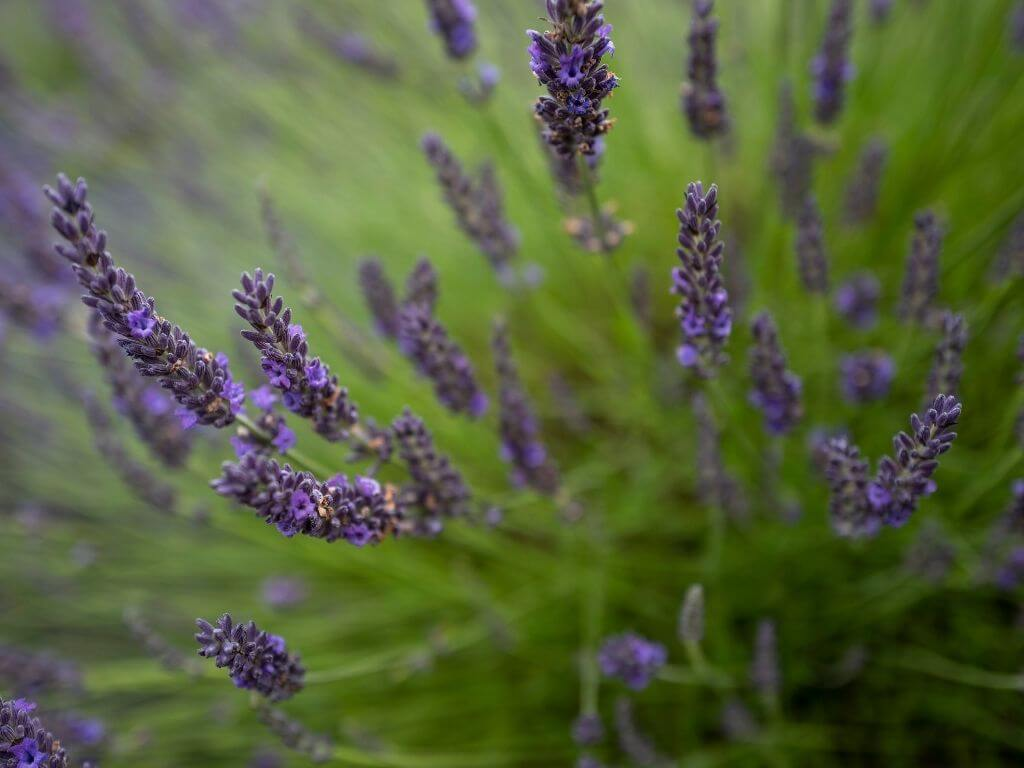 A close-up picture of some lavender flowers in a field