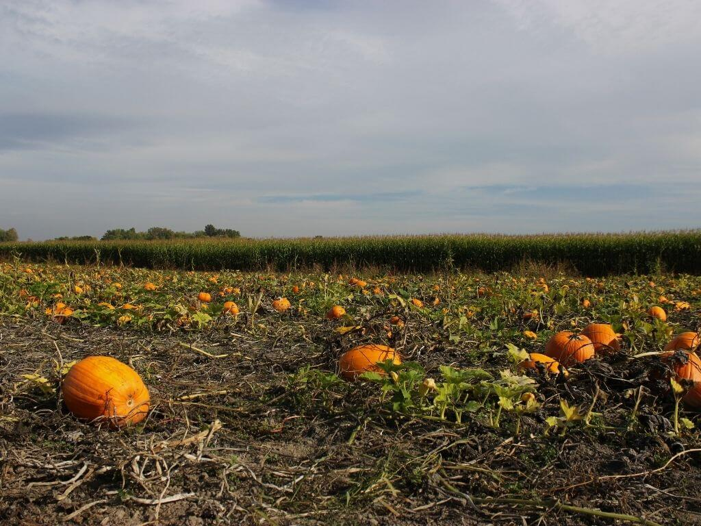 A picture of pumpkins in a field