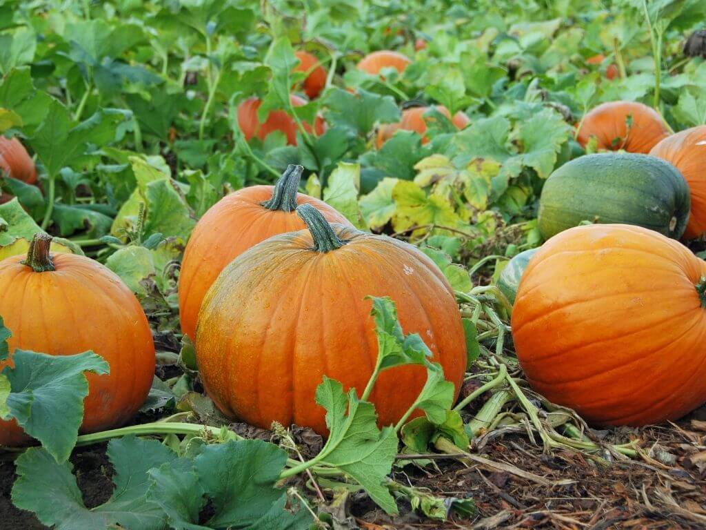 A close up picture of some pumpkins growing in a field